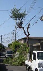 立木を伐採します。
